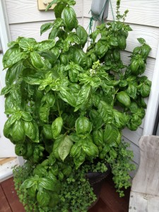 Basil growing on the deck.