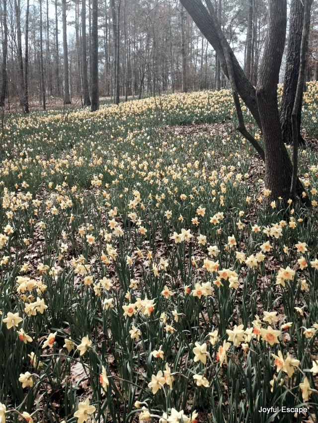 Gibbs Garden - they have over 200 million daffodils.  They go on forever. Breathtaking